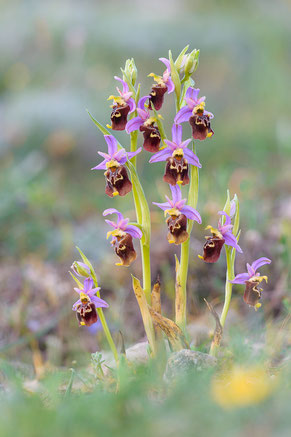 Apulische Ragwurz (Ophrys holoserica ssp. apulica)