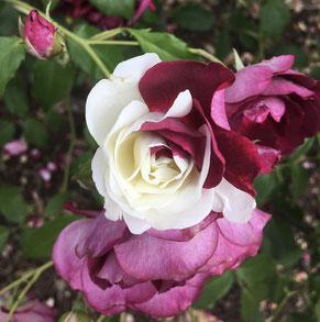 Rose, Chimäre , Oleander Haus