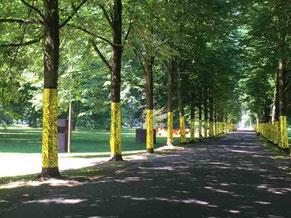 Schlosspark Köln Stammheim 2017, Allee mit 80 Goldbäumen
