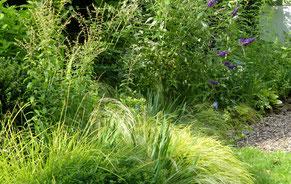 Auch im Juli behalten die schmalen Blätter (li) weiter ihr Goldgelb, während andere Buntlaubige vergrünen