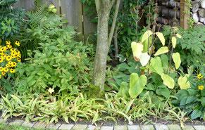 Steife Goldsegge - Carex elata 'Aurea' und Shiro Nakafu'