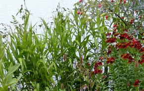 Plattährengras Chasmanthium latifolium