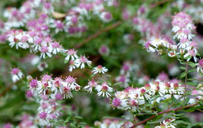 Waagrechte Aster - Aster laterifolius var. horizontalis 'Lady in Black'