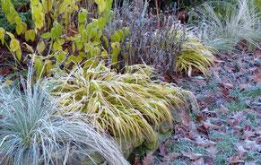 Japangras im Winter
