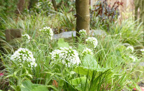 Schon im März treiben saftig grüne Blattaustriebe aus dem Boden, lassen sich gut mit Frühjahrsblühern kombinieren