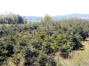 Weihnachtsbäume Bayern bietet eine Weihnachtsbaum Plantage zum Verkauf