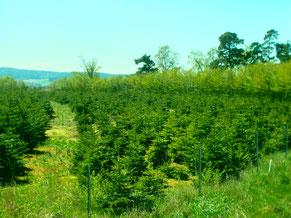 Weihnachtsbäume Plantage: Im Frühling