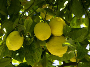Lemon Tree Palma Mallorca
