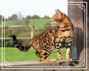 Vente de chats de race Bengal - Elevage Tribal Bengal - Femelles