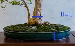 L'altezza del vaso dovrebbe corrispondere circa alla laghezza del tronco
