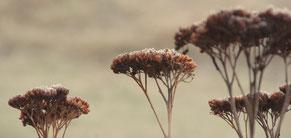 Blüte von Sedum mit Raureif überzogen
