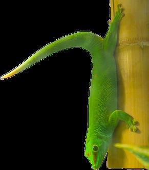 Grosser Madagaskar Taggecko mit Knickschwanz: Bei diesem Tier verursacht durch einen vorhergehenden kompletten Schwanzabwurf.