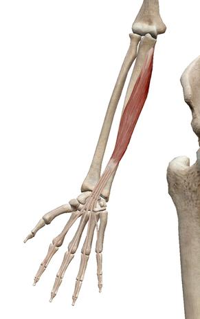 深指屈筋 - 徒手療法の臨床論
