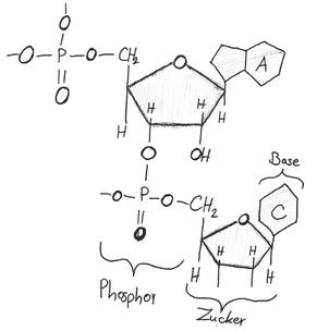 Abb. 1: Aufbau Nucleotid