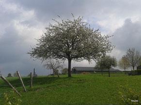 gewortelde bloei en kracht - Zuid Limburg april 2014