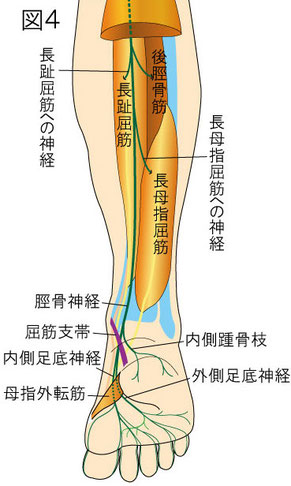 脛骨神経の神経分布