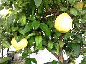 巨大レモン