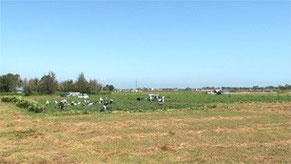 津波をかぶった農地にトマト畑がひらかれた