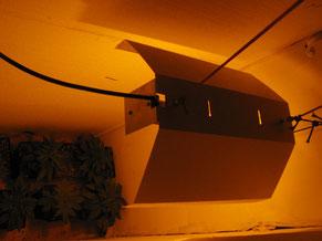 kleiner Hanf Cannabis Anbau Raum mit Hanfpflanzen unter Grow Lampe