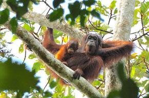 El orangután salvaje es uno de los grandes simios con mayor riesgo de desaparición/ Foto: HUTAN-KOCP