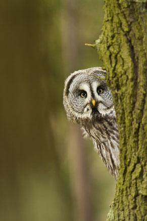 Eule schaut verdutzt und neugierig um einen Baumstamm