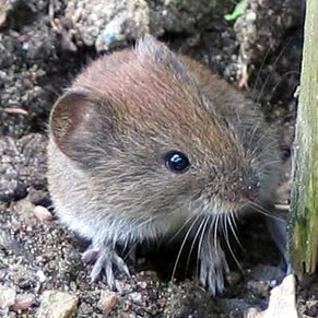 Rötelmaus (Familie der Wühlmäuse) / © wikimedia commons