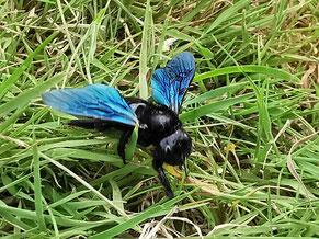 Eine Holzbiene im Gras