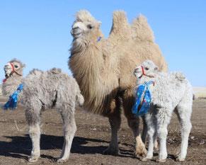 Feine und kleine Kamelchen