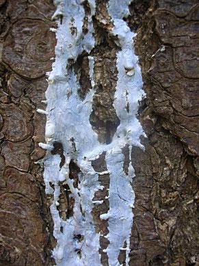 Douglasie Douglasfichte Douglas Fichte Fir Harz Harzfluss resin incense Räucherwerk Räuchern Räucherstoff Waldweihrauch