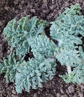 Rauschminze Lagochilus inebrians Samen Pflanze Kultivierung Anbau Räuchern fake inebriating mint seeds plant growing