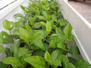 Apple seedlings in coldframe