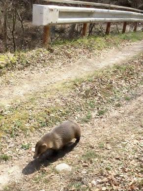 白昼堂々、林道を歩くアナグマ。