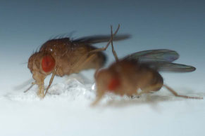 Two fruit flies (Drosophila melanogaster) during feeding and making high five.