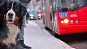 un chien bouvier bernois à un arrêt de bus avec coach canin 16 educateur canin à angoulême