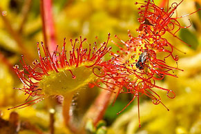 Round-leaved Sundew, also called Common Sundew (Drosera rotundifloia)