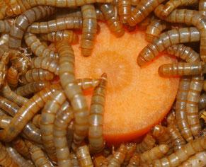 Auch Mehlwürmer brauchen Futter. Foto: Karsten