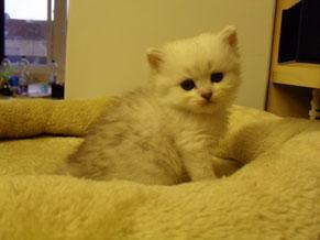 BLH-Katerchen von Sissy 4,5 Wochen alt