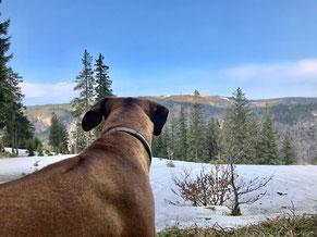 Hund mit Blick auf den Feldberg vom Bernauer Hochtalsteig