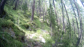 Lärchen Kiefern Wald Vegetation Alpen Italien Südtirol E5 Wandern Berge