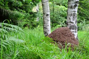 Ameisenhaufen an einem stark strahlenden Platz