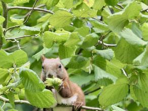 Eichhörnchen im Haselnuss