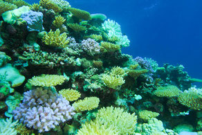 Different stages of bleaching in the one small area. Corals that are bright white or bright blue are stressed corals. Those that appear green/yellow have already died are being overgrown with algae.
