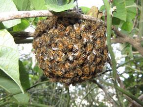 Bienenschwarm, der zu klein ist, um ohne imkerliche Maßnahmen zu überleben. (c) 2018 Jana Bundschuh