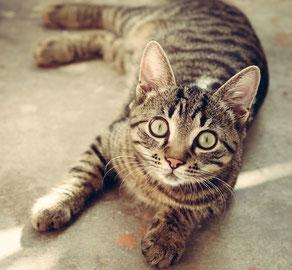 Wie alt werden Katzen, ohne menschlicher Obhut?