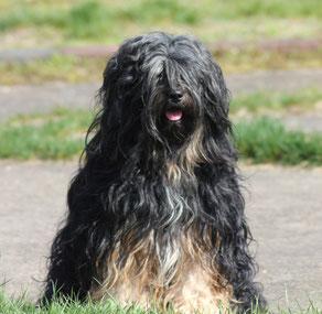 Tibet Terrier Rüde du joyeux Berger