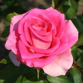 роза чайная Равель