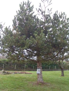 Pose d'un piège à chenilles processionnaires dans un pin à Belley.