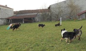 Plusieurs chiens jouant lors d'une séance d'éducation sur le terrain de coach canin 16 educateur canin en charente