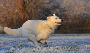 Un chien Berger Blanc Suisse court sur la neige par coach canin 16 éducateur canin en charente