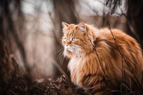 Rote langhaarige Katze sitzt im Unterholz  fotografiert von der Hunde Fotografin Monkeyjolie